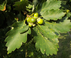 quercus petraea leaves