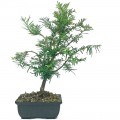 Taxus Yew Bonsai Starters in 15cm Pot